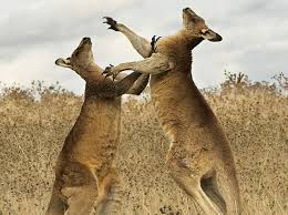 kangarooFight